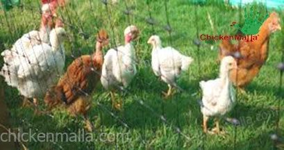 malla pollera para gallinas