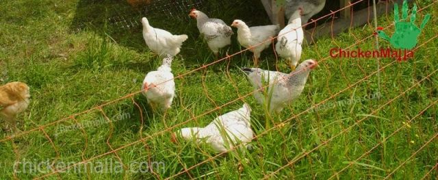 malla para el cuidado de los pollos