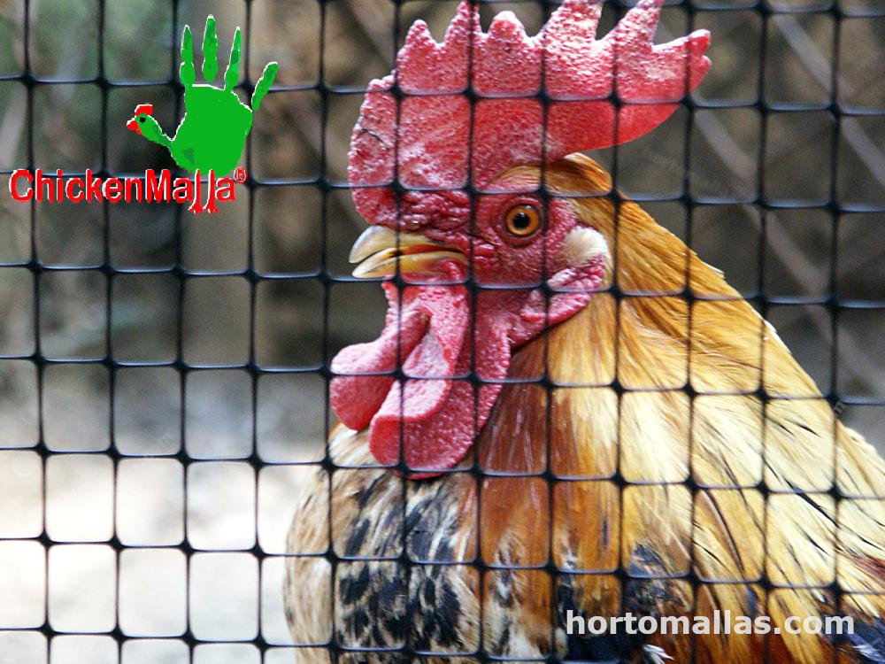 gallina protegida con red chickenmalla
